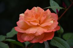 Beautiful rose close up in my garden stock photo