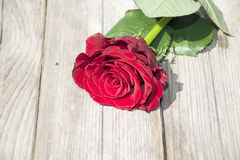 Beautiful rose Royalty Free Stock Image