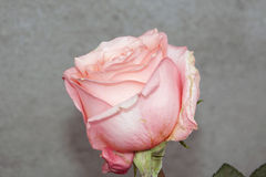 Beautiful rose Royalty Free Stock Images