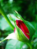 Red buds of rose in green leaves. Beautiful rose close up Valentine`s Day, Mother`s Day stock images