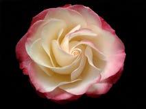 Beautiful rose closeup Royalty Free Stock Photos