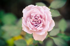 Beautiful rose Royalty Free Stock Photography