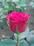 Rose flower. Beautiful rose color rose flower. Screensaver stock photos