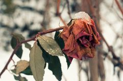 Beautiful rose covered with snow. Snow lies on a frozen rose. A big red rose covered with snow royalty free stock image