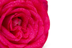 Beautiful rose with droplets Royalty Free Stock Photography