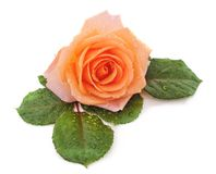 Beautiful rose with a drops of rain stock photography