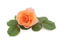 Beautiful rose with a drops of rain royalty free stock photos