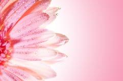 Beautiful rose flower Royalty Free Stock Photos