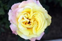 Beautiful rose flower backgrounds. Beautiful backgrounds of flowers roses yellow pink, alleys of roses royalty free stock image