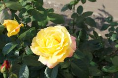 Beautiful rose flower backgrounds. Beautiful backgrounds of flowers roses yellow pink, alleys of roses stock photography