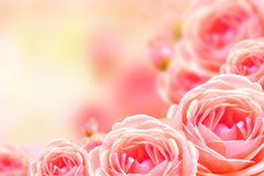 Beautiful rose flower and blur background. Royalty Free Stock Photo