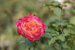 Beautiful rose flower Royalty Free Stock Image