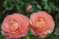 Beautiful rose flower complete family. Peach rose bud beauty about to bloom with Stock Photo