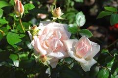 Beautiful rose flower Stock Photos