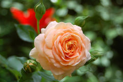 Beautiful rose flower Royalty Free Stock Images