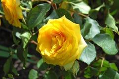 Beautiful rose flower Royalty Free Stock Photo