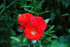 Beautiful rose flower Stock Photo