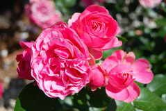 Beautiful rose flower Stock Images