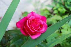 Beautiful rose flower Royalty Free Stock Image