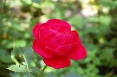 Beautiful rose flower Stock Image