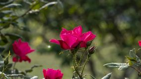 Beautiful rose flower in garden also with nice background color stock photo