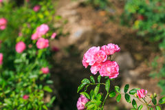 Beautiful rose flower in the garden Stock Photos