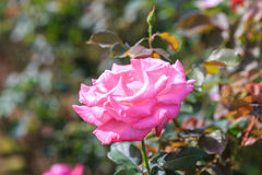 Beautiful rose flower in the garden Royalty Free Stock Image