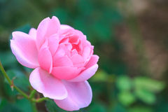 Beautiful rose flower in the garden Royalty Free Stock Images