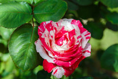 Beautiful rose flower in the garden Royalty Free Stock Photos