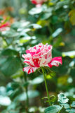 Beautiful rose flower in the garden Royalty Free Stock Photo