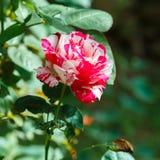 Beautiful rose flower in the garden Stock Photo