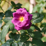 Beautiful rose flower in the garden Stock Images
