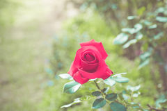 Beautiful rose flower in the garden retro color tone Royalty Free Stock Image