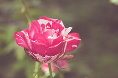Beautiful rose flower in the garden retro color tone Stock Images