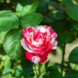 Beautiful rose flower in the garden retro color tone Stock Image