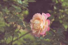 Beautiful rose flower in the garden retro color tone Royalty Free Stock Photography