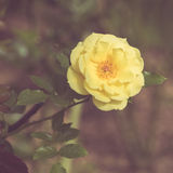 Beautiful rose flower in the garden retro color tone Royalty Free Stock Photos
