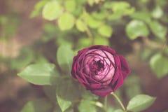 Beautiful rose flower in the garden retro color tone Stock Photos