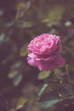 Beautiful rose flower in the garden retro color tone Royalty Free Stock Photo