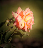 Beautiful rose flower on green background Royalty Free Stock Photos