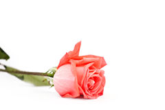 Beautiful rose flower isolate Royalty Free Stock Images