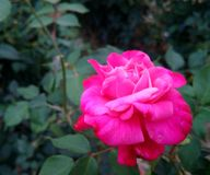 Beautiful rose.. Royalty Free Stock Image