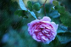 Beautiful rose flower on a rainy day Stock Images