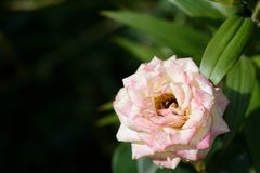 Beautiful rose flower in the summer garden Royalty Free Stock Photo