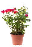 Beautiful rose in flowerpot Royalty Free Stock Images