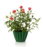 Beautiful rose in flowerpot Stock Photos