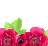 Beautiful Rose Flowers Background with copy space Stock Image
