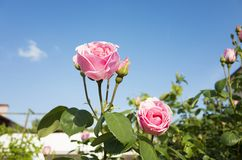 Beautiful pink rose flowers and blue sky stock images