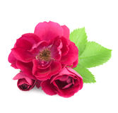 Beautiful  Rose Flowers with leaves  Stock Photography