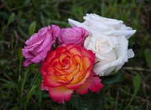 Beautiful rose flowers Royalty Free Stock Image